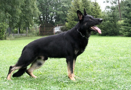 Ugi- Trained Protection Dog For Sale